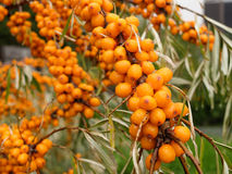 Branch of sea-buckthorn garden after the rain Royalty Free Stock Images