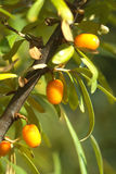 Branch of sea-buckthorn with ripe berries close up Royalty Free Stock Image