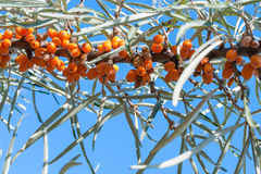 Branch of sea-buckthorn tree Stock Photography