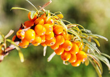 Branch of seabuckthorn. Royalty Free Stock Photos