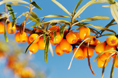 Branch of seabuckthorn. Royalty Free Stock Images