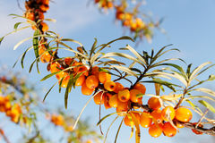 Branch of seabuckthorn. stock photo