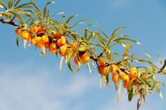 Branch of seabuckthorn. Stock Image