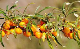 Branch of seabuckthorn. Stock Photos