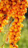 Branch of seabuckthorn. Royalty Free Stock Photo