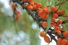 Branch of seabuckthorn Royalty Free Stock Photos