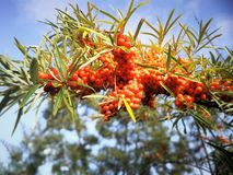 Branch of Seabuckthorn Berries. On sky background in garden Royalty Free Stock Photos