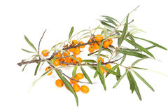 Branch of seabuckthorn Royalty Free Stock Image