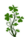 Branch of shamrock. Branch of green shamrock isolated on white Stock Photo