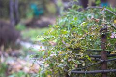 Branch with sharp spines. In the road Royalty Free Stock Images