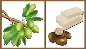 Branch of the Shea tree, Shea nuts and Shea Butter. On white vector illustration
