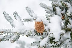 Branch of Siberian fir with a beautiful cone in the open air royalty free stock photo