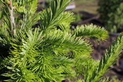 Branch of the Siberian fir Stock Images