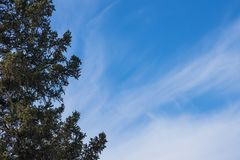 Branch of Siberian fir on the right, against the background of the sky with space for text. Siberian fir Latin Abies sibírica is a coniferous tree, the most Stock Photos