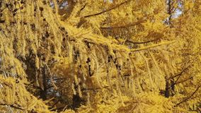 Branch of Siberian larch. With cones on it stock footage