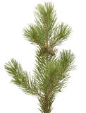 Branch siberian pine Stock Photo