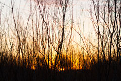 Branch Silhouette at Sunrise. Early morning sunlight makes a golden backdrop behind tree branches Stock Images