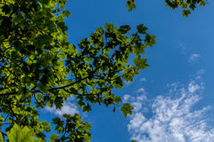 Branch in the sky. Tree branch summer sky Royalty Free Stock Images