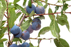 Sloe. Royalty Free Stock Image
