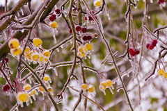 Branch with small apples, ice-covered,icicles Royalty Free Stock Photo