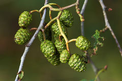 Branch with small cones. Branch with small green cones Stock Photos
