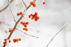 Branch with small frozen berries. Stock Photos