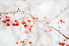 Branch with small frozen berries. Stock Photography