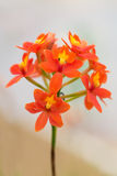 Branch orange orchids Royalty Free Stock Image