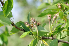Branch with small pears. Royalty Free Stock Photos