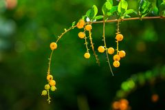 Branch with small yellow berries of Morinda umbellate, family na. Me Rubiaceae, tropical and subtropical Asia and Australia common shrub Royalty Free Stock Photos