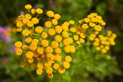 Branch with small yellow flowers tansy. Royalty Free Stock Photo