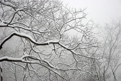 Branch and snow. Nature in winter,branch and snow Stock Photo