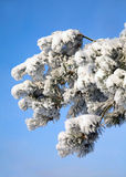 Branch with snow. The branch covered with snow on sky blue background Stock Photo