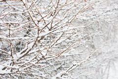 Branch in snow Royalty Free Stock Images