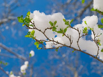 Branch with snow Royalty Free Stock Images