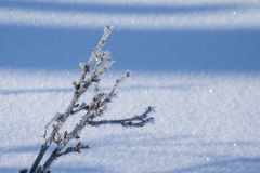 Branch on the snow background. The branch of a bush covered with hoarfrost and crystals of ice, on a snow-covered field Royalty Free Stock Images