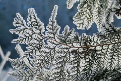 Branch of a snow-covered coniferous tree. Royalty Free Stock Images