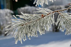 Branch of a snow-covered pine tree. Stock Photos