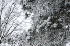 Branch in the snow. Forest in winter cold season enveloped in white snow stock image