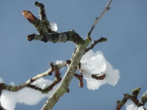 Branch with snow Royalty Free Stock Image