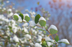 Branch in snow Royalty Free Stock Photos