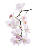 Branch of snow orchids isolated Stock Images