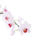 Branch of snow orchids isolated on white.  stock image