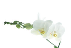 Branch of snow orchids isolated on white. Background Royalty Free Stock Photography