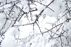 Branch with snow Royalty Free Stock Photography
