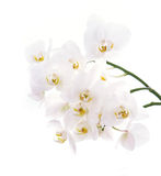 Branch of snow white orchids isolated on white. Royalty Free Stock Images