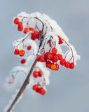 The branch of snowy mountain ash Stock Photography