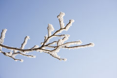 Branch of the snowy tree Stock Photography
