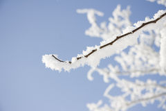 Branch of the snowy tree Stock Photo
