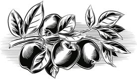 Branch with some ripe apples. Branch with some ripe apples on sky stock illustration